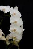 Guirnalda de las orquídeas blancas contra un fondo negro Fotografía de archivo