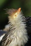 Guiro Cuckoo Stock Photos