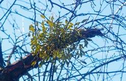 Guis sur un arbre nu photo libre de droits