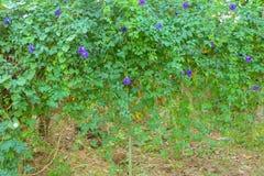 Guisante de mariposa azul imagenes de archivo