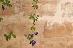 Guisante de mariposa en la pared Imágenes de archivo libres de regalías