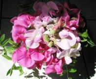 Guisante dulce rosado Foto de archivo libre de regalías