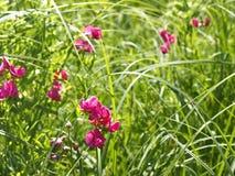Guisante tuberoso floreciente entre hierbas de prado Foto de archivo libre de regalías