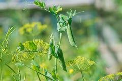 Guisante verde joven en la planta Foto de archivo libre de regalías