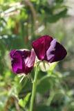 Guisantes de olor de color morado oscuro Foto de archivo libre de regalías