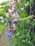 Guisantes de olor que suben las vainas de la semilla de las plantas de las flores que se arrastran foto de archivo libre de regalías