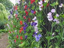 Guisantes de olor que suben las vainas de la semilla de las plantas de las flores que se arrastran fotos de archivo