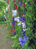 Guisantes de olor que suben las vainas de la semilla de las plantas de las flores que se arrastran imagenes de archivo
