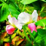 Guisantes de olor rosados Fotografía de archivo