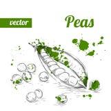 Guisantes dibujados mano del estilo del bosquejo Ejemplo del vector de la comida del eco del vintage Guisantes maduros Foto de archivo libre de regalías