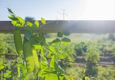 Guisantes que crecen en jardín del vegetabe Foto de archivo