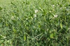 Guisantes verdes florecientes en vainas en el campo Foto de archivo libre de regalías
