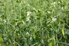 Guisantes verdes florecientes en vainas en el campo Imagen de archivo