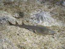 Guitarfish di Halavi sul fondo del mare fotografia stock