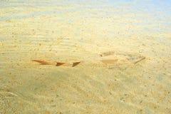 Guitarfish en Shell Beach photo libre de droits