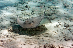 Guitarfish under water lies merging with a sandy bottom Stock Photography