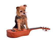 Guitarist dog Royalty Free Stock Image