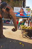 Gujarat in India. February 20, 2012 Mehsana,Gujarat,India,Asia-An elephant taking banana food on the road of Gujarat Stock Photography