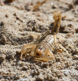 Scorpion Royaltyfri Fotografi