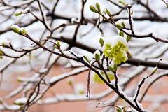 Gul acacia under en snow Royaltyfria Bilder