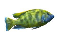 Gul afrikansk fiskgiraffslump Royaltyfria Bilder