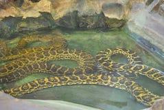 Gul anakonda eller Eunectesnotaeus arkivbild