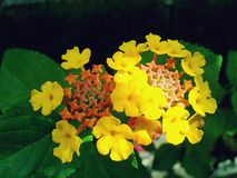 Gul apelsin & röda blommor Arkivbild