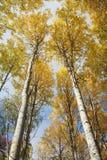 Gul asp- skog Fotografering för Bildbyråer