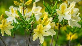 Gul azalea, rhododendronmolle, buske som blommar i v?r arkivbild