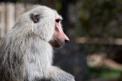 Gul baboon Fotografering för Bildbyråer