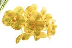 Gul bakgrund för orkidéblommavit Royaltyfria Foton