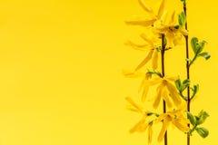 Gul bakgrund för vår med forsythiablommor Arkivfoton