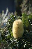 Gul Banksiablomma arkivbild