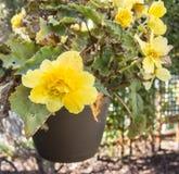 Gul begonia i blom i en trädgård Royaltyfri Fotografi
