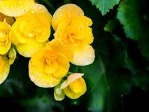 Gul begoniablomma som blommar i trädgården Arkivbild