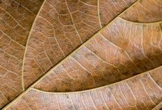 Gul bladcloseup Foto för makro för höstbladtextur Torr gul bladådermodell Royaltyfri Bild