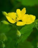Gul blom Arkivfoton