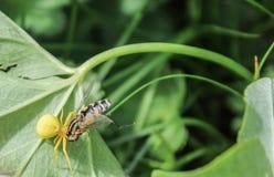 Gul blom- spindel med dess rov på det gröna gräset Arkivbild
