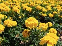 Gul blomma arkivfoton