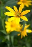 Gul blomma Royaltyfri Fotografi