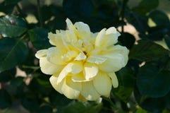 Gul blomma Fotografering för Bildbyråer