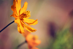 Gul blomma av coreopsis royaltyfri bild