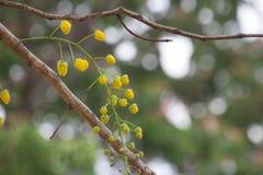 Gul blomma av den guld- duschCassiafisteln arkivbild