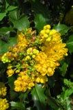 Gul blomma av den lantliga växten för mahonia Fotografering för Bildbyråer