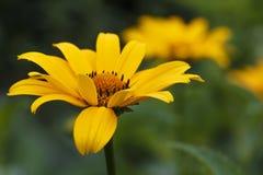 Gul blomma av en kamomill Arkivfoton
