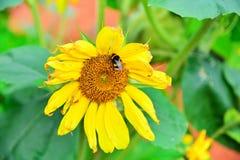 Gul blomma av en solros och en humla som samlar pollen Royaltyfri Foto