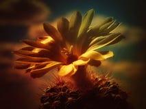 Gul blomma av kaktuns med himlen som en bakgrund Royaltyfri Bild