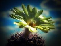 Gul blomma av kaktuns med himlen som en bakgrund Royaltyfria Bilder