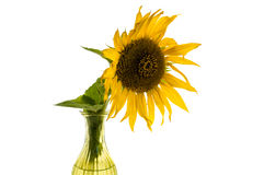Gul blomma av solrosen i en isolerad vas arkivfoton