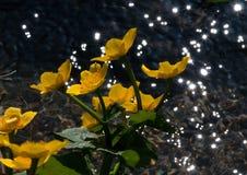 Gul blomma av tr?sket - Slovakien arkivfoto
